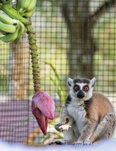 Lenny the ring-tailed lemur