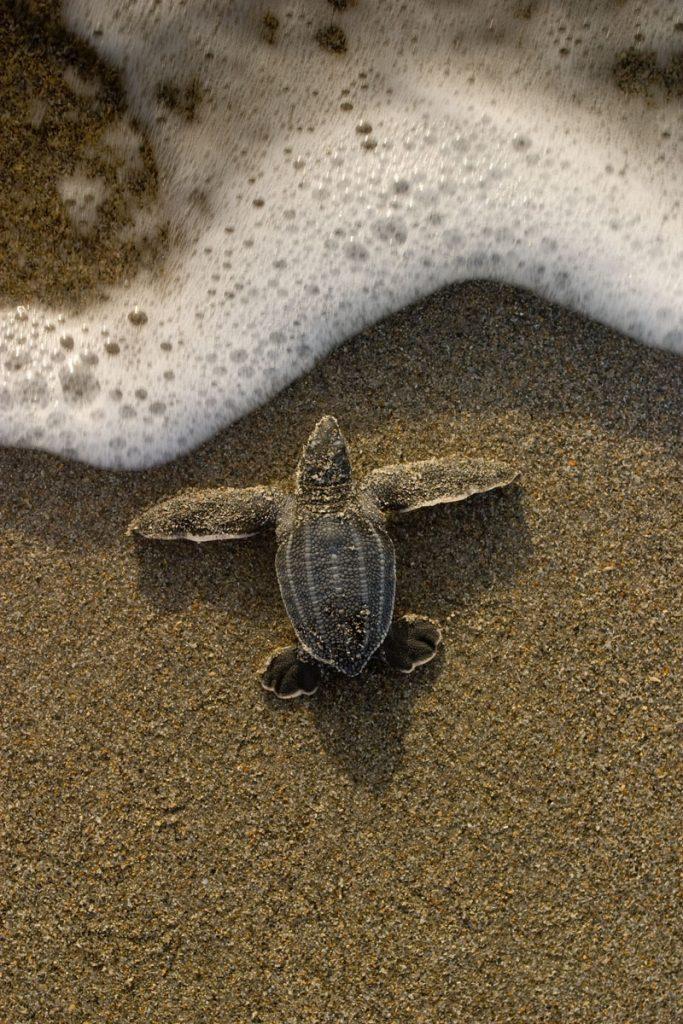 Leatherback Sea Turtle hatchling. Image courtesy of Loggerhead Marinelife Center