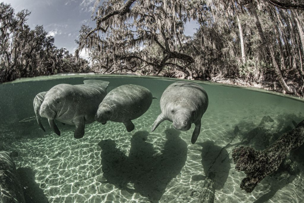 Manatees at Blue Springs. Photo by Paul Nicklen