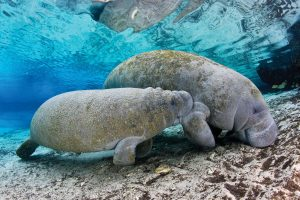 Mother manatee and her calf. Photo by Paul Nicklen